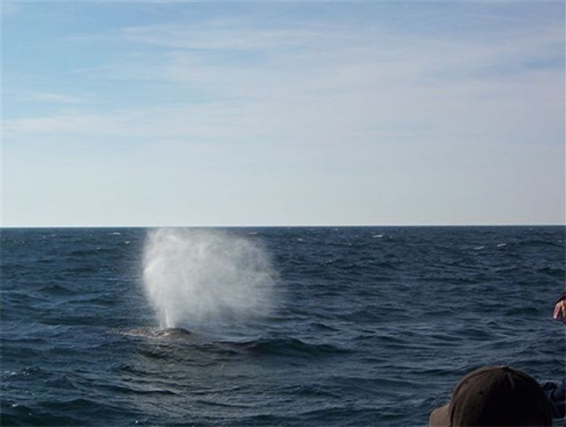 Humpback Blowing